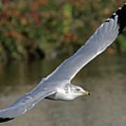 Flying Sea Gull - Eugene Oregon Poster