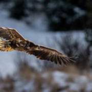 Flying White-tailed Eagle Poster