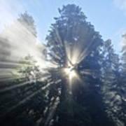 Foggy Redwood Sunrise Poster