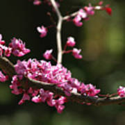 Forest Pansy Redbud Branch In May Poster