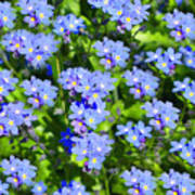 Forget Me Not Macro Poster