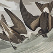 Fork-tail Petrel Poster
