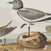 Fork-tailed Gull Poster