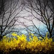 Forsythia By The Mountains Poster