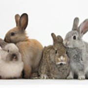 Four Baby Rabbits Poster