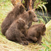 Four Bear Cubs Looking In Same Direction Poster
