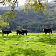 Four Cows At Nojoqui Ranch Poster