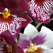 Four Exotic Orchid Blossoms Poster