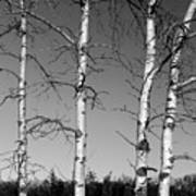 Four Naked Birches Bw Poster