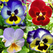 Four Pansies Poster