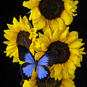 Four Sunflowers And Blue Butterfly Poster