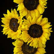 Four Sunny Sunflowers Poster