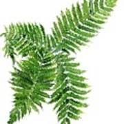 Four Way Fern Poster