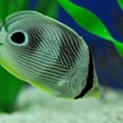 Foureye Butterfly Fish Poster