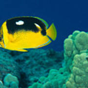 Fourspot Butterflyfish Poster