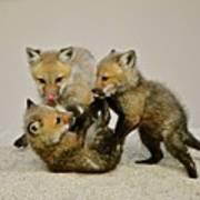 Fox Cubs At Play II Poster