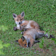 Fox Cubs Chilling Out Poster