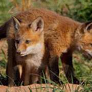 Fox Cubs Playing Poster by William Jobes
