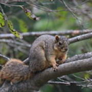 Fox Squirrel On A Branch  Poster