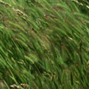 Foxtail Barley - Salisbury Potrero Poster