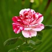 Fragrant Pink Poster