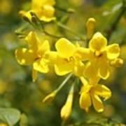 Fragrant Yellow Flowers Of Carolina Jasmine Poster