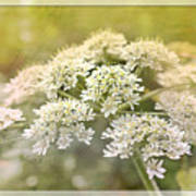 Framed Cow Parsley Poster