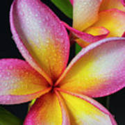 Frangipani After The Rain Poster