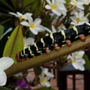Frangipani Tree And Caterpillar Poster