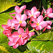 Frangipanis In Bloom Poster