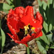 Frayed Tulip Poster