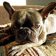 French Bulldog Fierce Look Poster