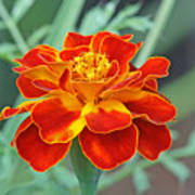 French Marigold Poster