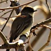 Frenchbroad Flycatcher Poster