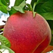 Fresh Peach Poster