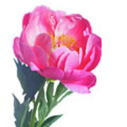 Japanese Peony Poster