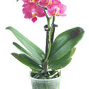 Fresh Pink Orchid In Pot Poster