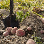 Fresh Red Potatoes On Ground Poster