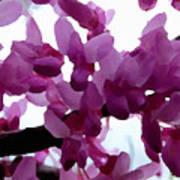 Fresh Redbud Blooms Poster