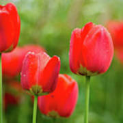 Fresh Spring Tulips Flowers With Water Drops In The Garden  Poster