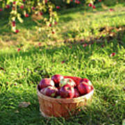 Freshly Picked Apples In The Orchard  Poster
