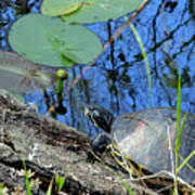 Freshwater Turtle Sunning Poster