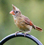 Friendly Female Cardinal  Poster
