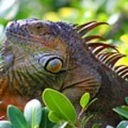 Friendly Iguana Poster