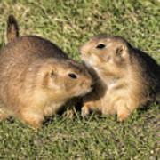 Friendly Prairie Dogs Poster