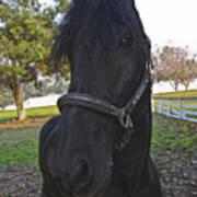 Friesian Horse Head Poster