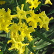 Fringed Puccoon Poster