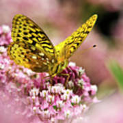 Fritillary Butterfly On Flowers Poster