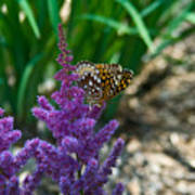 Fritllary Butterfly On Astilbe Poster