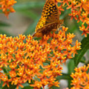 Frittalary Milkweed And Nectar Poster